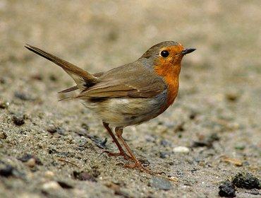 Wandelen met de boswachter, thema: Vogelzangwandeling