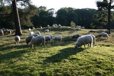 Wandelen met de boswachter, thema: door bos en hei, Warnsborn - grafheuvel - schapen