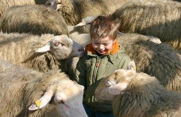 Lammetjesdag - jongen tussen de schapen