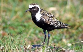 American Golden-Plover, male, date 1998. This image or recording is the work of an U.S. Fish and Wildlife Service employee, taken or made during the course of an employee's official duties. As a work of the U.S. federal government, the image is in the public domain. For more information, see the Fish and Wildlife Service copyright policy. wikipedia