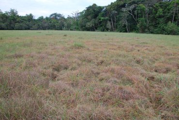 The grasses in front are parasitized by a Cassytha-species, a Black Star