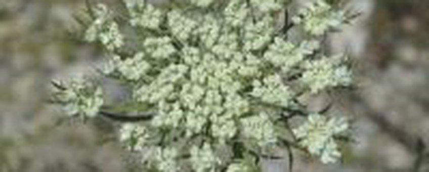 Wilde Peen - Bloei (foto: Natuurkalender Handleiding)