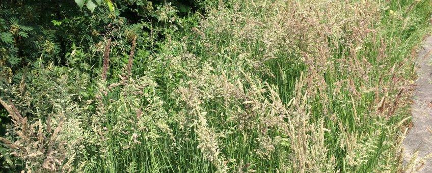Diverse soorten grassen in volle bloei