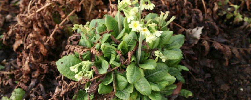 sleutelbloem (Primula) op 19 februari 2014