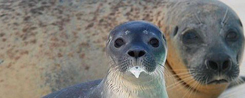 Jonge gewone zeehond met melkbaard
