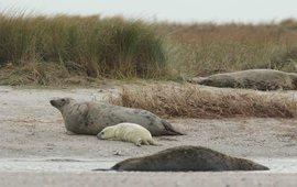 Grijze zeehonden (exclusief eenmalig gebruik WMR)