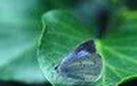 boomblauw klein