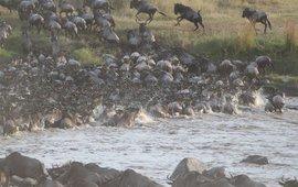 wildebeest migration, gnoe