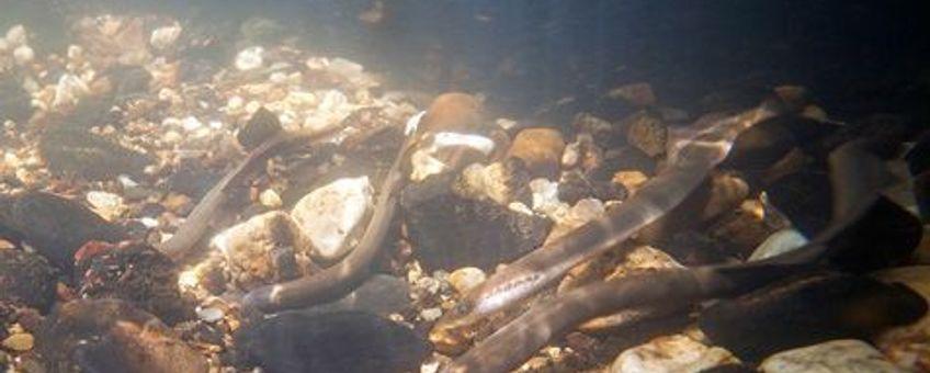 meerdere rivierprikken paaiend