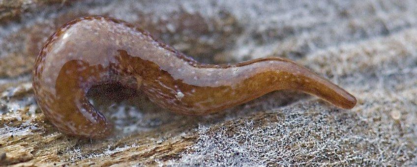Marionfyfea adventor. Deze platworm is in 2016 beschreven op basis van dieren uit Nederland.