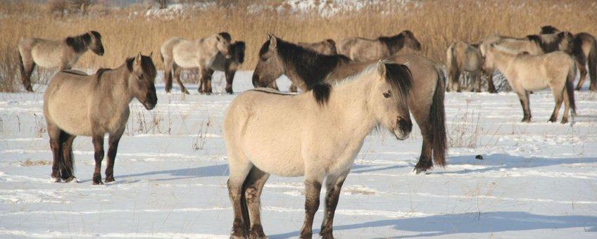 Koniks in sneeuw Letland