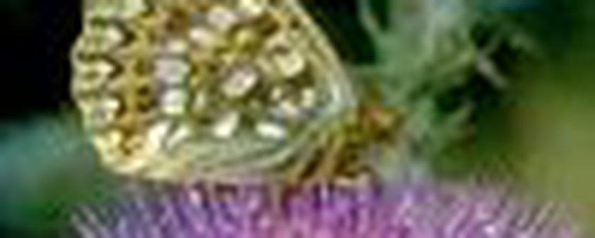 duiparelmoer klein