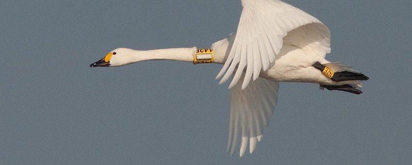 Kleine zwaan 142E met GPS-logger