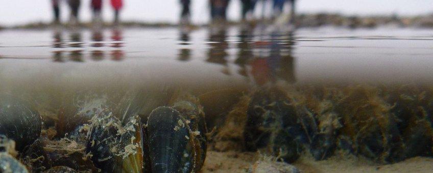 Clubje mossels onder water met onderzoeksteam op de achtergrond