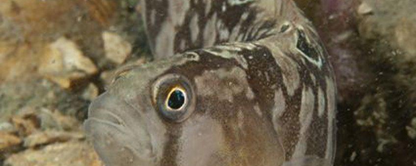 Botervis in Grevelingenmeer