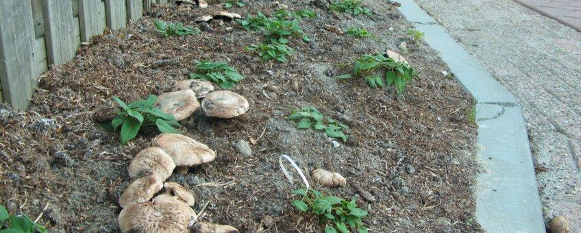 Gekweekte champignons in Heerhugowaard