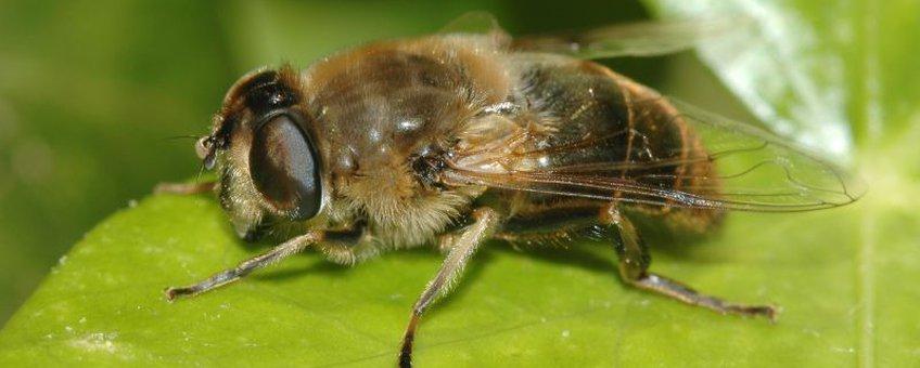 Blinde bij (Eristalis tenax), vrouwtje.