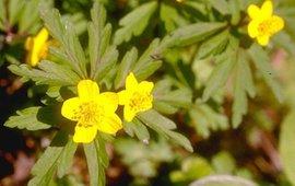 Gele anemoon, bloei. Foto: Ruud van der Meijden.