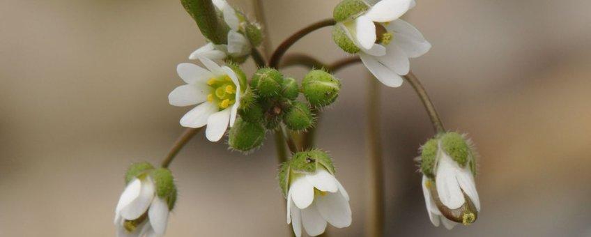 Staat de voorjaarsbode Vroegeling al in bloei?