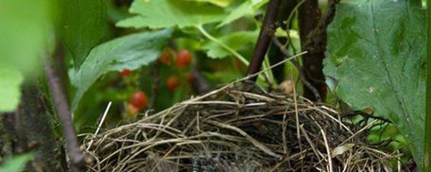Nest jonge merels