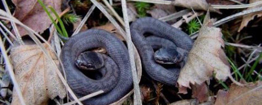 Twee pasgeboren gladde slangetjes. Dat de eerste vervelling aanstaande is, is te zien aan de grijswitte kleur van de loslatende bovenste huidlaag.