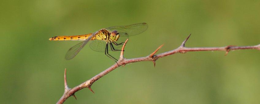 Kempense heidelibel - primair