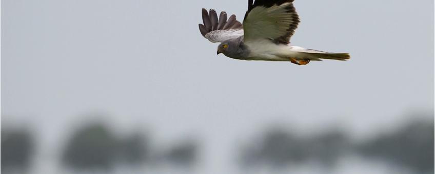 Adult mannetje Blauwe Kiekendief boven een tarweakker.