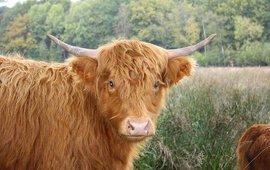 Schotse hooglander, GNU-licentie voor vrije documentatie