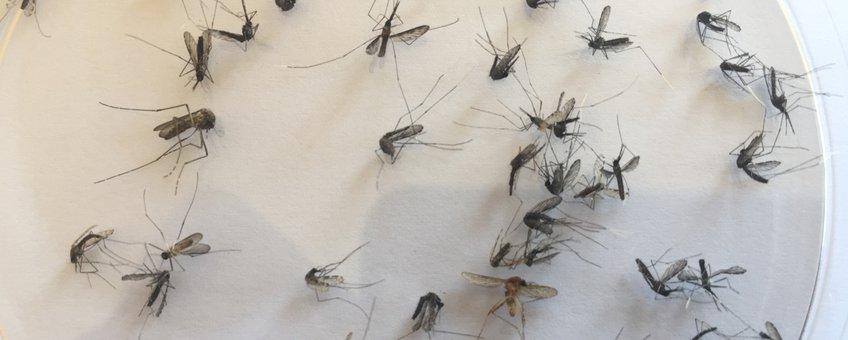 Muggen gevangen in Rwanda