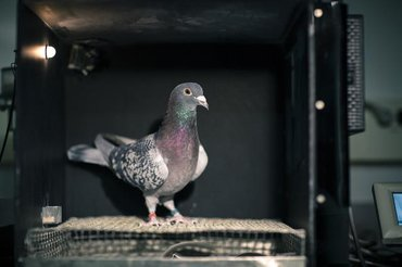 Pigeon in the experimental set-up