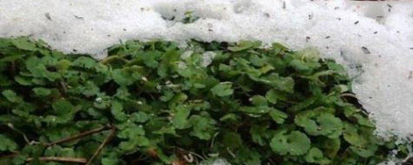 Verspreidbladig Goudveil in sneeuw Foto: Gertie Papenburg