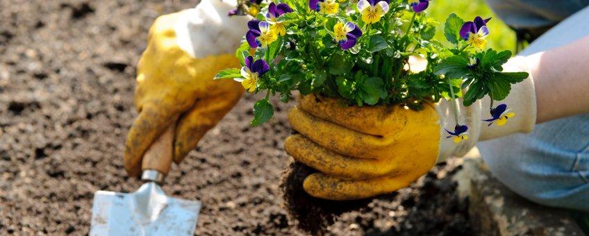 viooltjes planten