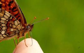 bosparelmoervlinder - primair