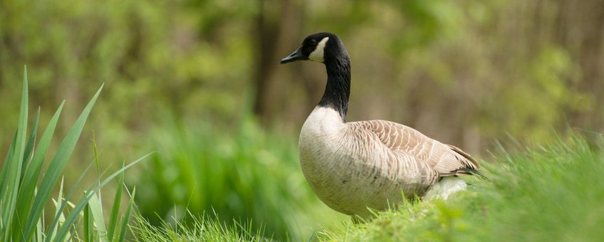 Grote Canadese gans