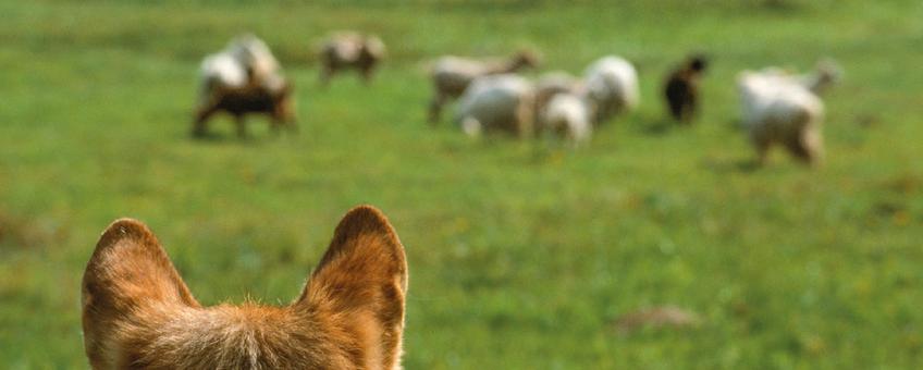 Wolf kijkt naar schapen