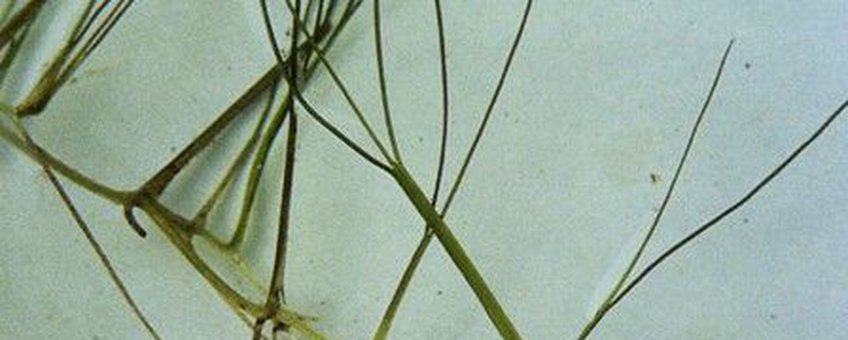 Snavelruppia USDA-NRCS PLANTS Database / USDA NRCS publiek domein http://plants.usda.gov/java/profile?symbol=RUMA5