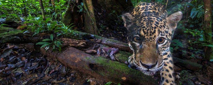 Jaguar lead