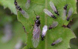 Vele (kleine) mannetjes en een (grote) koningin maken zich gereed voor een bruidsvlucht.