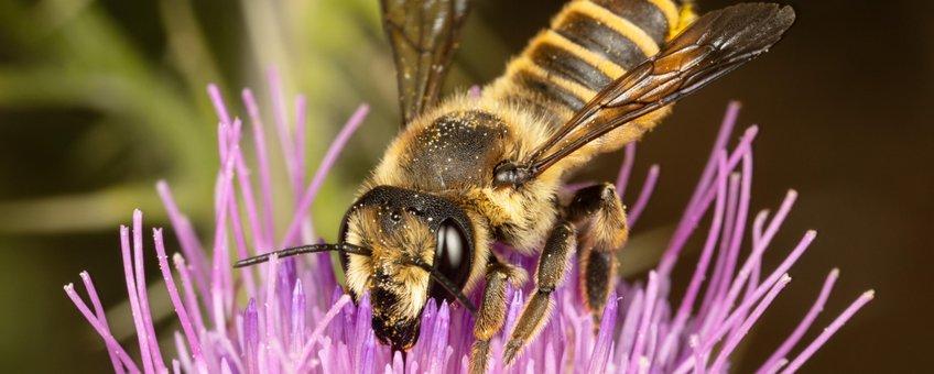 Vrouwtje centauriebehangersbij (Megachile melanopyga)