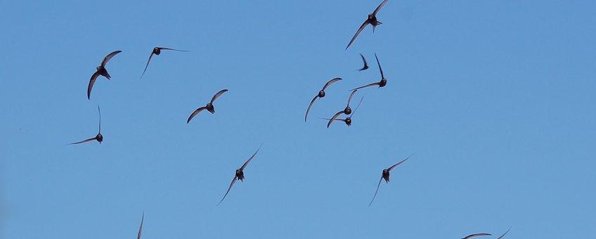 Apus apus. Flock flying. Gierzwaluw