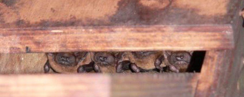 Rosse vleermuizen in een vleermuiskast