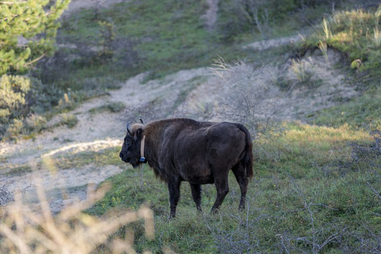European bison with new collar