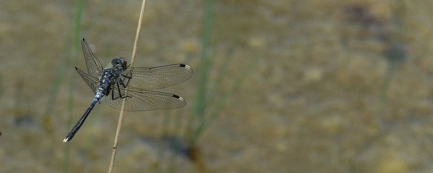 Oostelijke witsnuitlibel - primair