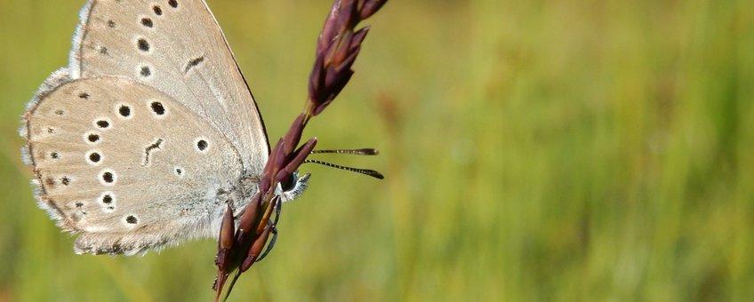 pimpernelblauwtje - primair