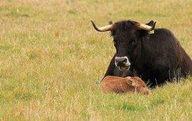Tauros koe met kalf