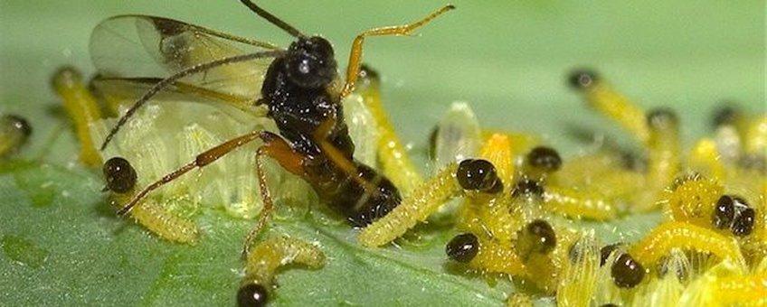 Sluipwesp legt eitjes in rups koolwitje