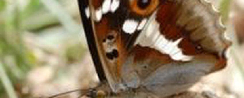 Grote Weerschijnvlinder (1) (foto: Albert Vliegenthart)