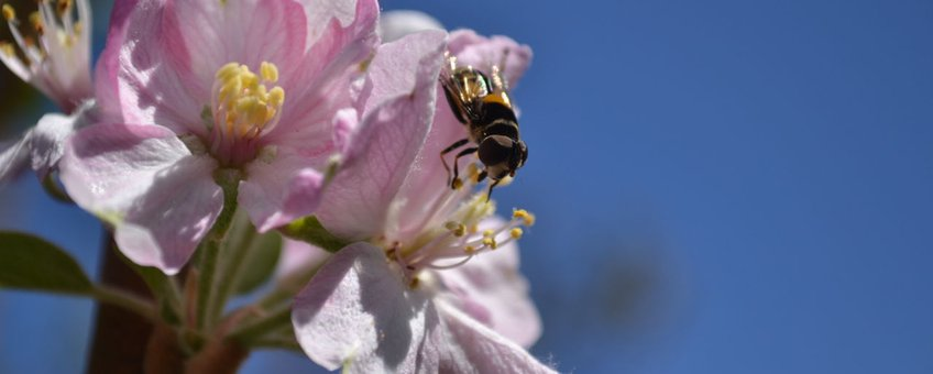 Appel en Diptera