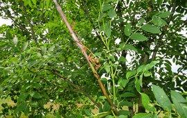 Essentaksterfte es Fraxinus excelsior tak