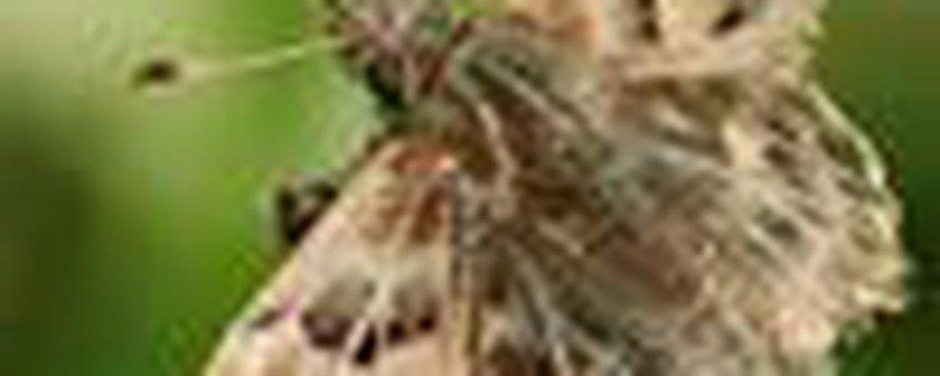 kaasjeskruiddikkopje klein